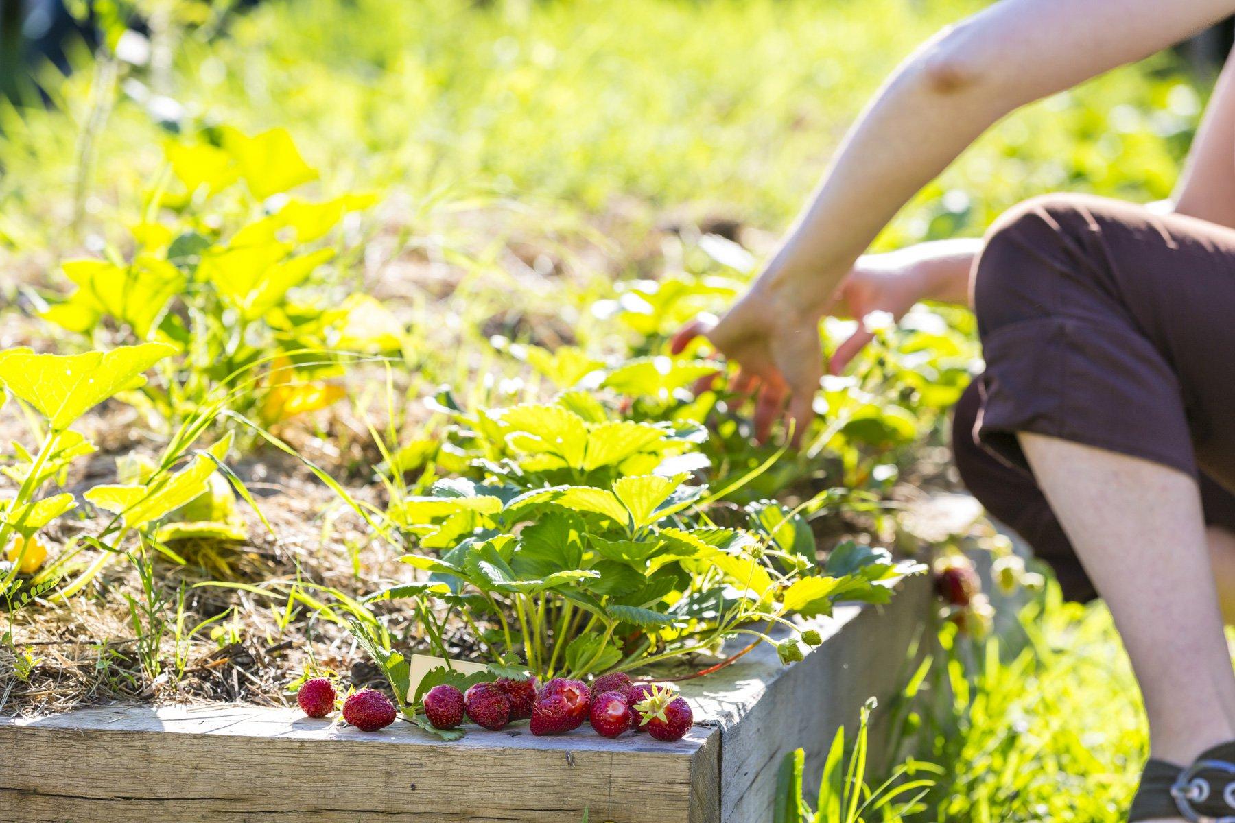 Récolte des fraises dans le potager partagé de Rovaltain.